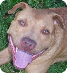 Pit Bull Terrier Mix Dog for adption in Cedar Rapids, Iowa - Noah