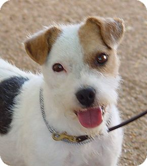 Jack Russell Terrier Dog for Sale in Scottsdale, Arizona - HAMMER
