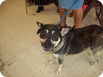 Norwegian Elkhound/Shiba Inu Mix Dog for Sale in Orlando, Florida - Simone