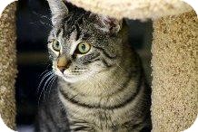 Domestic Shorthair Cat for Sale in Mesa, Arizona - Chill