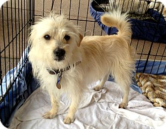 Maltese/Terrier (Unknown Type, Small) Mix Dog for Sale in Chandler, Arizona - Kenny