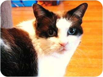 Snowshoe Cat for adoption in Richmond Hill, Ontario - Sundae-*Blue Eyes
