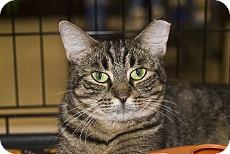 Domestic Shorthair Cat for Sale in Elfers, Florida - Poppy