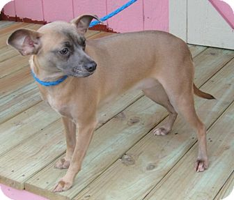 Chihuahua/Miniature Pinscher Mix Dog for adption in Porter, Texas - Shyla