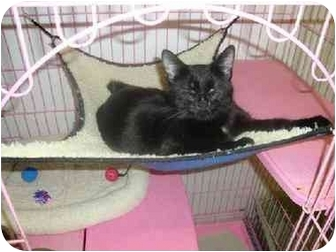 Manx Cat for adoption in Kenosha, Wisconsin - Minnie Q