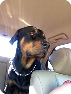 Rottweiler Dog for Sale in Gilbert, Arizona - Sadie