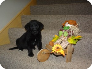 Labrador Retriever Mix Puppy for Sale in Marlton, New Jersey - Fritz and Hemingway
