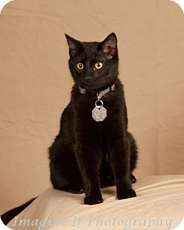 Domestic Shorthair Cat for Sale in Edmond, Oklahoma - Julius