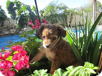 Spaniel (Unknown Type)/Chihuahua Mix Dog for Sale in San Diego, California - TuTu