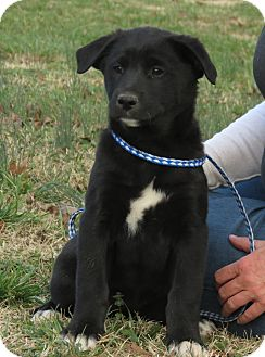 Labrador Retriever/Border Collie Mix Puppy for Sale in Glastonbury, Connecticut - Tooney~adopted~