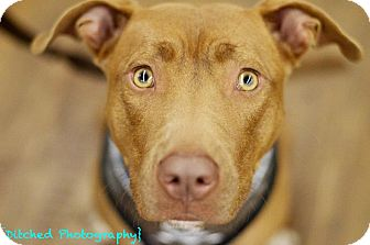 American Pit Bull Terrier/American Staffordshire Terrier Mix Dog for adption in Columbus, Georgia - Jadie