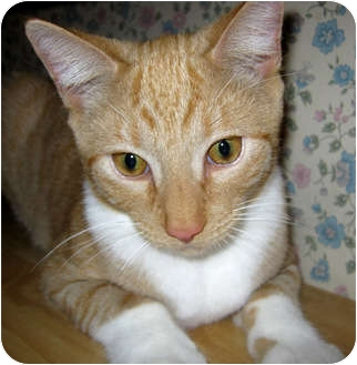 Domestic Shorthair Cat for adoption in N. Billerica, Massachusetts - Sid