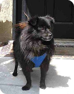 Schipperke Mix Dog for Sale in Temecula, California - Tanner