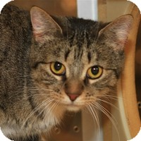 Domestic Shorthair Cat for Sale in Albany, New York - Brittany