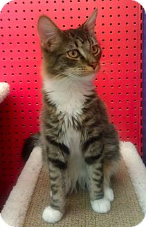 Domestic Mediumhair Cat for Sale in Phoenix, Arizona - Dirk