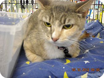Domestic Shorthair Cat for adoption in Riverside, Rhode Island - Scarlett