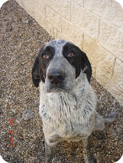 Bluetick Coonhound/Black and Tan Coonhound Mix Dog for Sale in Stilwell, Oklahoma - Comet