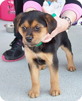 Rottweiler/Golden Retriever Mix Puppy for Sale in Greensboro, Georgia - Baby Girl