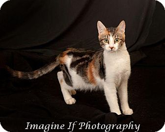 Domestic Shorthair Cat for Sale in Edmond, Oklahoma - Snapdragon