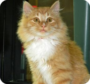 Domestic Longhair Cat for Sale in Cheyenne, Wyoming - Pumpkin