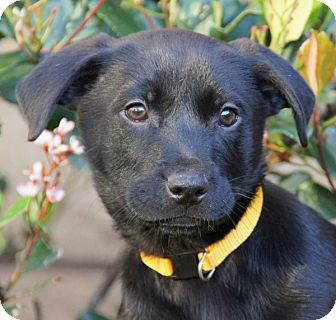 Labrador Retriever/German Shepherd Dog Mix Puppy for Sale in Thousand Oaks, California - Pheobe
