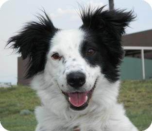 Border Collie Mix Dog for Sale in Cheyenne, Wyoming - Ms. America