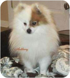 Pomeranian Dog for Sale in South Amboy, New Jersey - Anthony