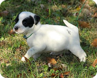 Boxer/Dalmatian Mix Puppy for Sale in Plainfield, Connecticut - Annabell