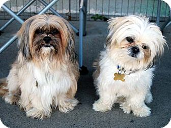 Shih Tzu/Lhasa Apso Mix Dog for adption in Los Angeles, California - TIMMY & WALDO
