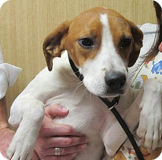 Terrier (Unknown Type, Medium)/Beagle Mix Dog for Sale in Brattleboro, Vermont - Grace