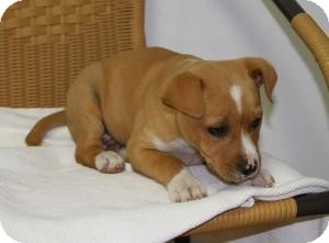 Labrador Retriever/Boxer Mix Puppy for Sale in Marlton, New Jersey - Sydney