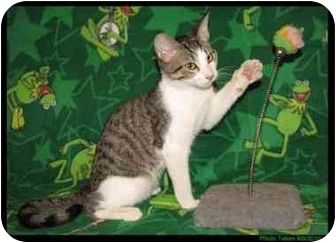 Domestic Shorthair Cat for Sale in Orlando, Florida - Dupree
