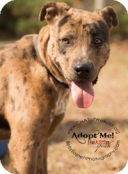 Catahoula Leopard Dog Mix Dog for Sale in Crawfordville, Florida - Demo