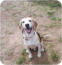 Beagle Mix Dog for adption in Phoenix, Arizona - Scooter