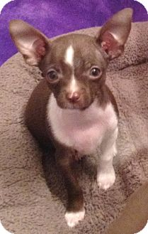 Chihuahua Puppy for Sale in Orlando, Florida - Chispy#4M