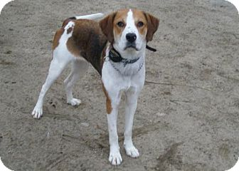 Hound (Unknown Type) Mix Dog for Sale in New Bedford, Massachusetts - Gina