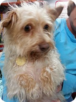 Cairn Terrier/Poodle (Miniature) Mix Dog for adption in Cherry Valley, California - Katrina
