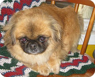 Pekingese Dog for Sale in Prole, Iowa - Beth