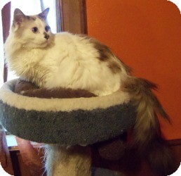 Ragdoll Cat for Sale in Ennis, Texas - Sammael (Sam)