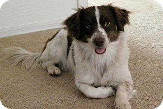 Welsh Corgi/English Springer Spaniel Mix Dog for Sale in Scottsdale, Arizona - Cookie Girl