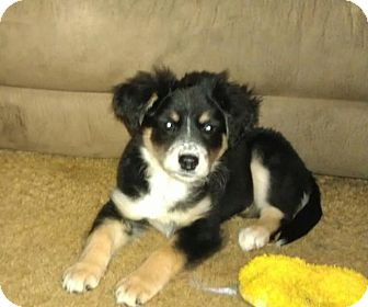 Border Collie/Labrador Retriever Mix Puppy for Sale in Bedminster, New Jersey - Raven