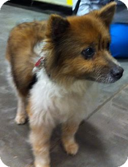 Pomeranian/Sheltie, Shetland Sheepdog Mix Dog for Sale in Loudonville, New York - Biscuit