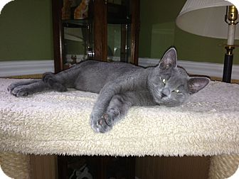 Russian Blue Cat for Sale in Port Republic, Maryland - Stewart