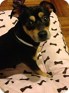 Chihuahua/Miniature Pinscher Mix Dog for Sale in New York, New York - Leo