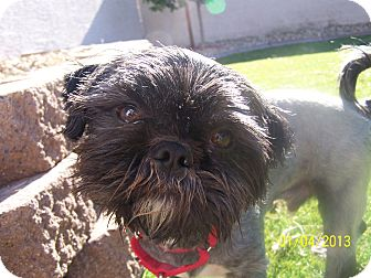 Lhasa Apso Mix Dog for Sale in Phoenix, Arizona - Harry
