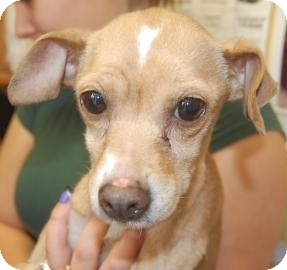 Chihuahua Mix Dog for Sale in Brooklyn, New York - Allie