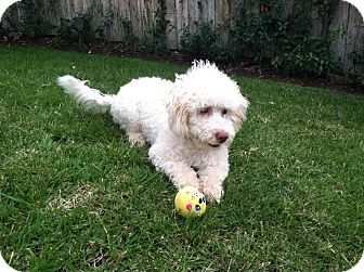 Bichon Frise/Poodle (Miniature) Mix Dog for Sale in San Diego, California - Noodles