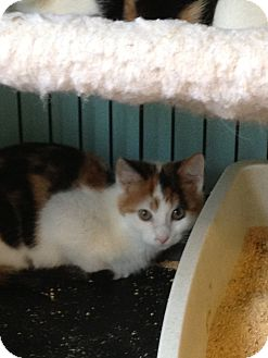 Domestic Shorthair Kitten for adoption in Richfield, Ohio - Chintzi