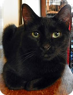 Domestic Shorthair Cat for adoption in Alexandria, Virginia - Sheba