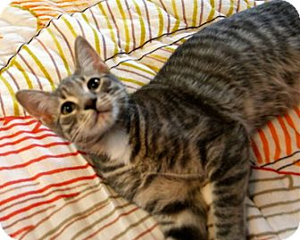 Domestic Shorthair Kitten for Sale in New York, New York - Candy and Squeakers